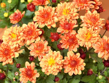 fragrant: Beautiful bouquet from many autumn orange chrysanthemum