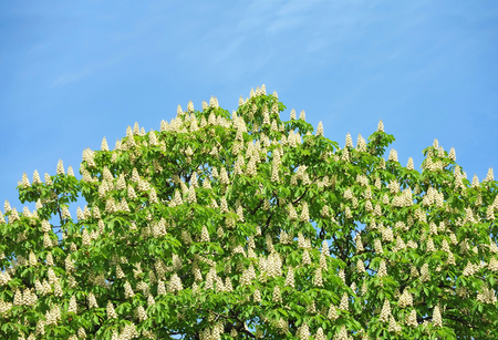 castanea sativa: Flowering branches of chestnut (Castanea sativa) tree Stock Photo