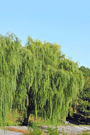 weeping willow: Weeping willow tree in the public park