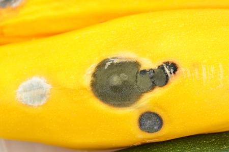 putrid: Molded vegetable marrow (zucchini), close up, DOF