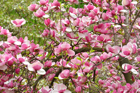 Bloomy magnolia tree with big pink flowers stock photo picture and bloomy magnolia tree with big pink flowers stock photo 55366311 mightylinksfo