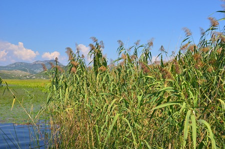 underbrush: Reed (Scirpus gen.) spinney in river, Montenegro, Europe