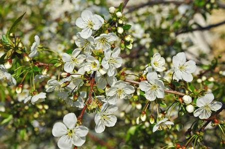 balmy: Beautiful cherry tree with fresh balmy blossom
