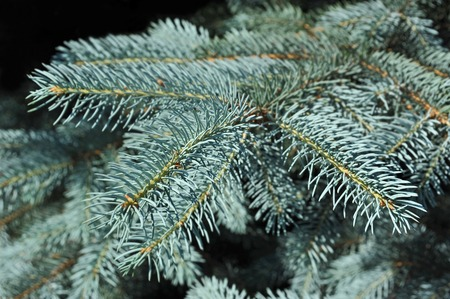 picea: Close up of blue fir tree branch Stock Photo