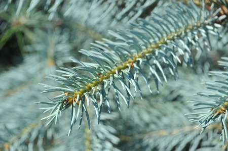 ramification: Close up of blue fir tree branch Stock Photo