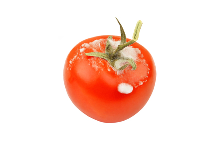 molded: Molded red tomato, isolated on white background Stock Photo