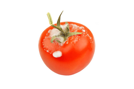 Molded red tomato, isolated on white background Stock Photo