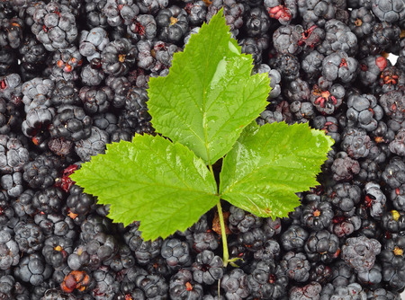 rubus: Many fresh blackberries (rubus) with green leaf Stock Photo