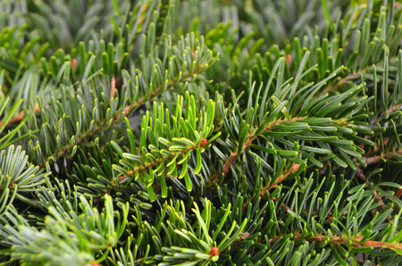 ramification: Close up of green fir tree branch