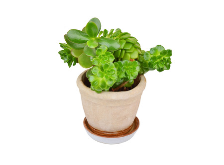 Green succulent plant sempervivum and Crassula, isolated on white background