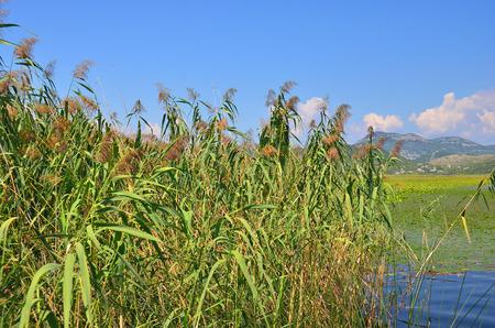 underbrush: Reed (Scirpus gen.) spinney in river, Montenegro, Europe