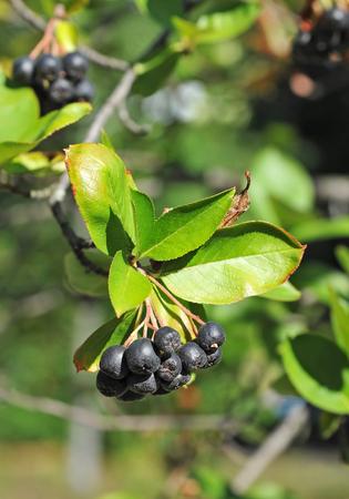 Black ashberry (Aronia melanocarpa) tree with ripe berry