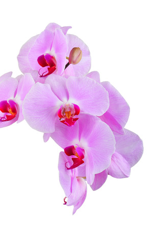 Pink orchid flower, isolated on white background