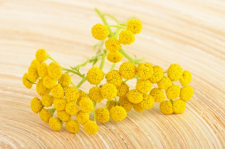 vulgare: Plant of Tansy (Tanacetum vulgare, Common Tansy, Bitter Buttons, Cow Bitter, Mugwort, Golden Buttons) Stock Photo