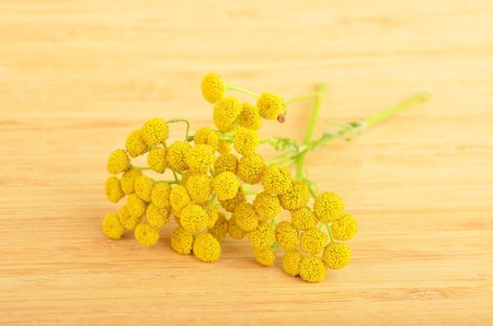 Plant of Tansy (Tanacetum vulgare, Common Tansy, Bitter Buttons, Cow Bitter, Mugwort, Golden Buttons) Stock Photo