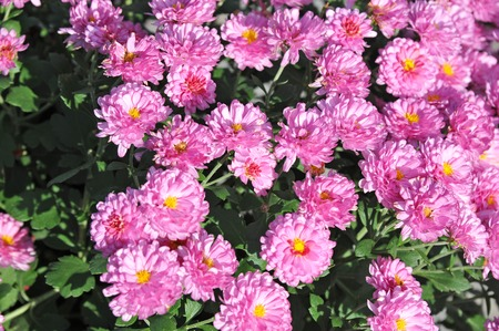 Beautiful bouquet from many autumnal pink chrysanthemum Stock Photo