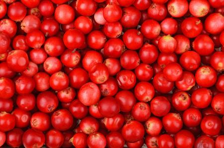Zamknij się czerwony dojrzałe Borówka brusznica (Vaccinium vitis-idaea)