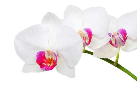 phalaenopsis: Fresh orchid flower, isolated on white background Stock Photo
