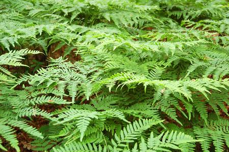 Green bracken lush fern growing in forest in wild