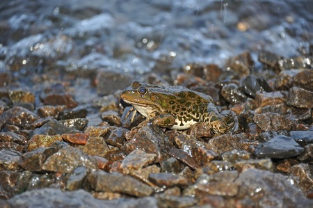 limnetic: Frog on the rock in tidal wave