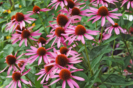 Beautiful Echinacea flower on natural green background