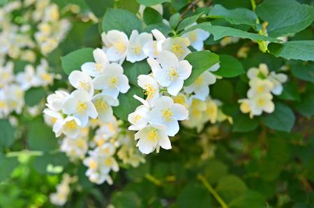 Beautiful white jasmine flower, breed Bialy Karzel Stock Photo