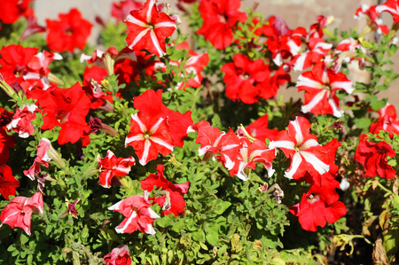 Beautiful flowerbed with many bright red petunia Stock Photo