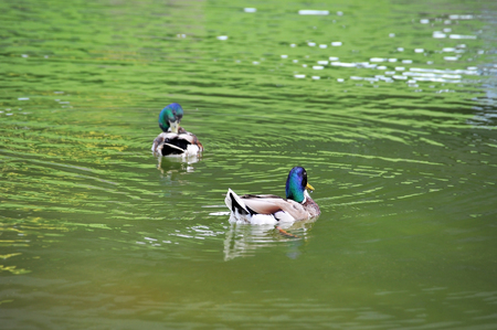 Wild duck (male) floating in the lake Stock Photo