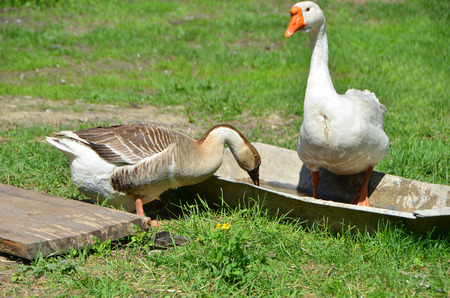 White and gray goose on farm yard