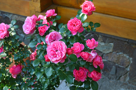 Beautiful fresh rose flower in rural flowerbed