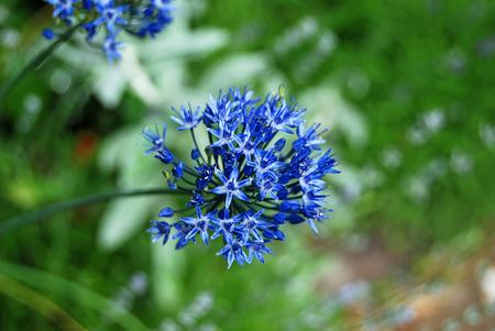 alliaceae: Beautiful fresh allium flower in rural flowerbed Stock Photo