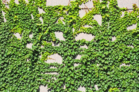 Green Hedera plant leaves on stone wall