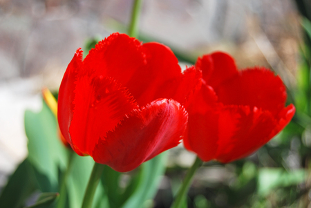 Beautiful fresh tulip flower in rural flowerbed Stock Photo