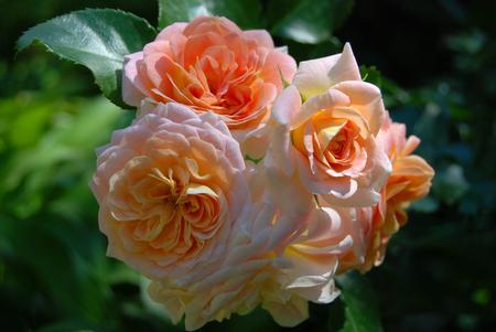 rosa: Beautiful fresh rose flower in rural flowerbed