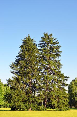 Beautiful evergreen fir tree in summer park