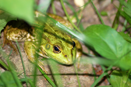 limnetic: Green frog on the ground near pond
