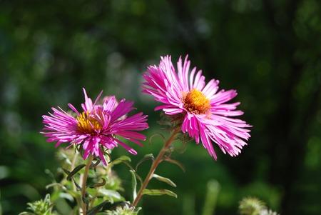 Beautiful fresh aster flower in rural flowerbed