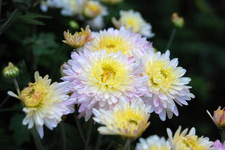 Beautiful fresh chrysanthemum flower in rural flowerbed