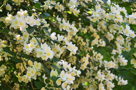 philadelphus: Beautiful white jasmine flower, breed Bialy Karzel Stock Photo