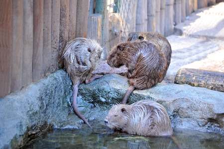 Nutria (Myocastor coypus) on beton near pond Stock Photo