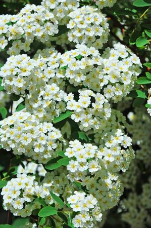 Spiraea alpine spring flower white flowering shrub stock photo spiraea alpine spring flower white flowering shrub stock photo 79593150 mightylinksfo