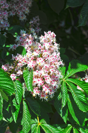Flowering branches of chestnut (Castanea sativa) tree Stock Photo