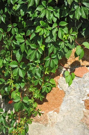 Green wild vine plant leaves on stone wall