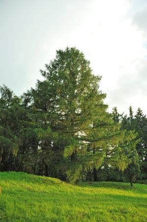 Beautiful evergreen pine tree in summer park