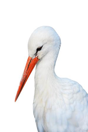 White stork (ciconia) portrait with beak bright red beak Stock Photo