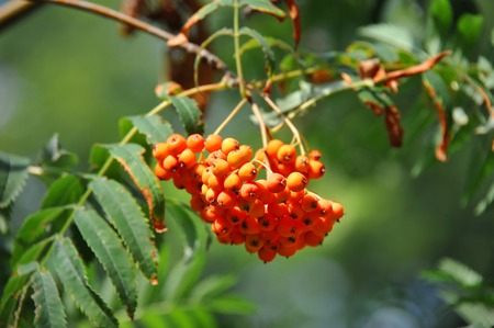 Rowan berries, Mountain ash (Sorbus) tree with ripe berry 写真素材