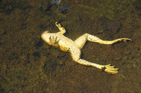 Dead frog in water of the pond