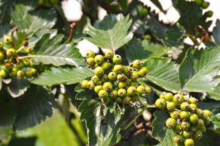 Hawthorn (Crataegus submollis Sarg.) tree with berry