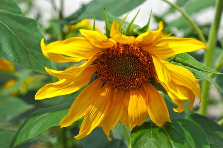 Beautiful sunflower (Helianthus) on green leaves background
