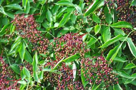 Some elderberry on branch against the leaves
